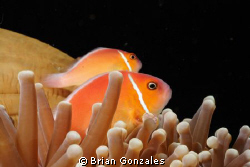 Anemone Fish inside Anemone. by Brian Gonzales 